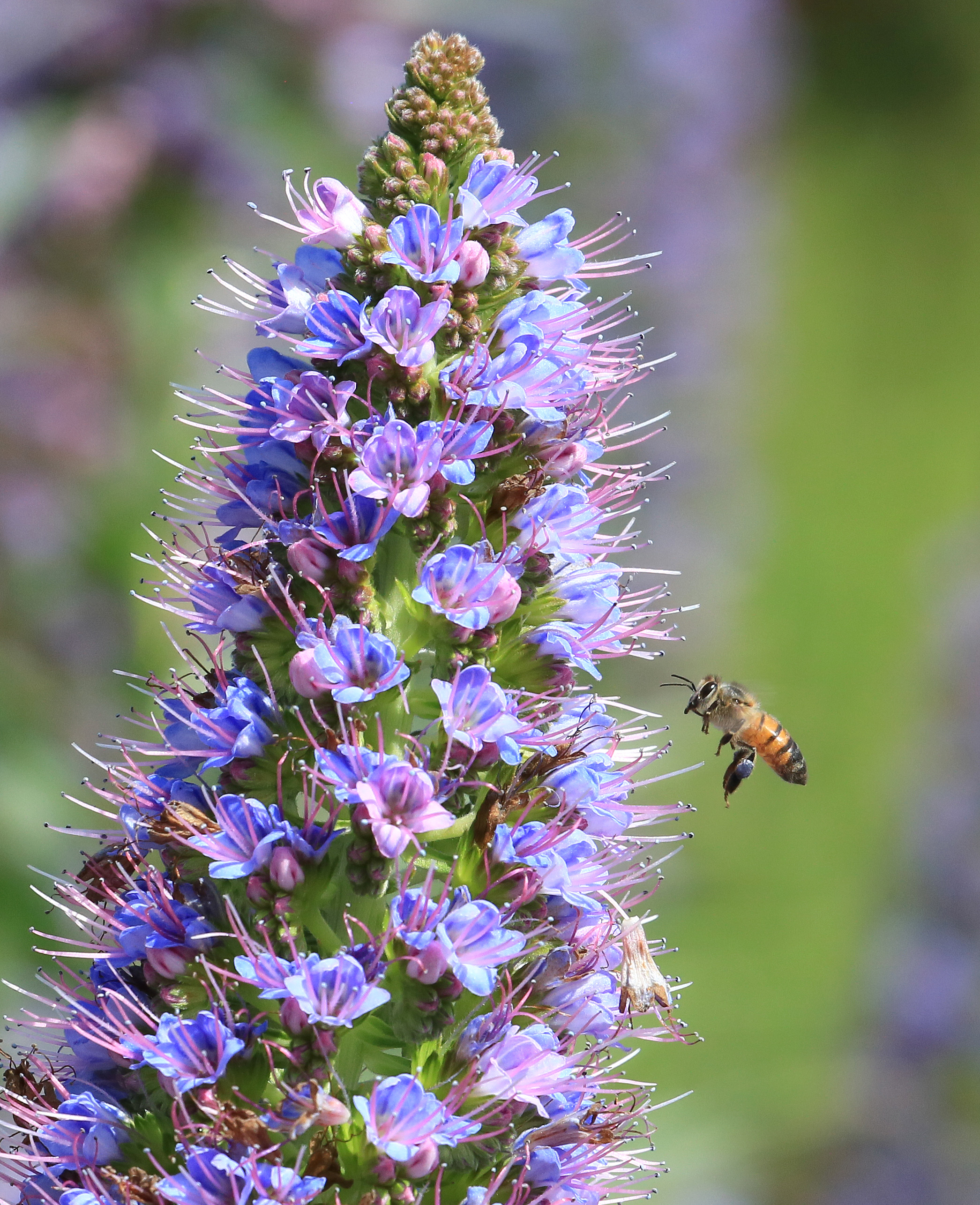 a honey bee hovers by flowers