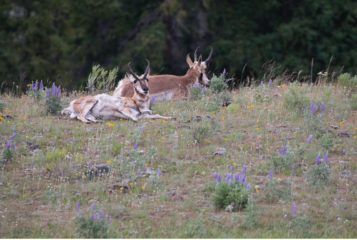 two pronghorn side by side in a meadow in Yellowstone