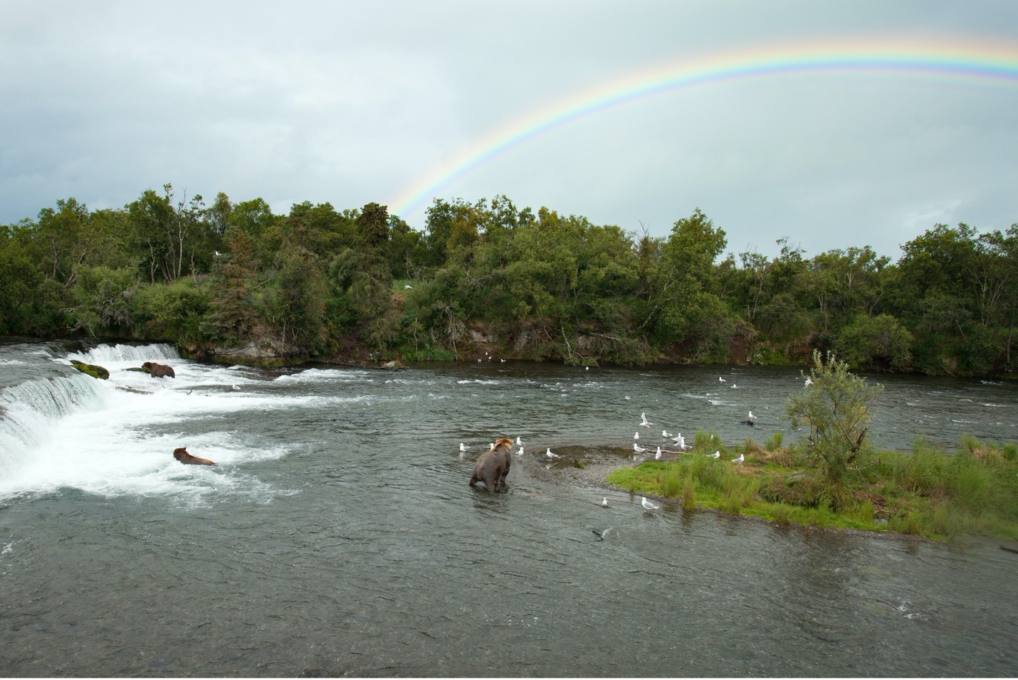 several brown bears are attracted to the falls where salmon leap