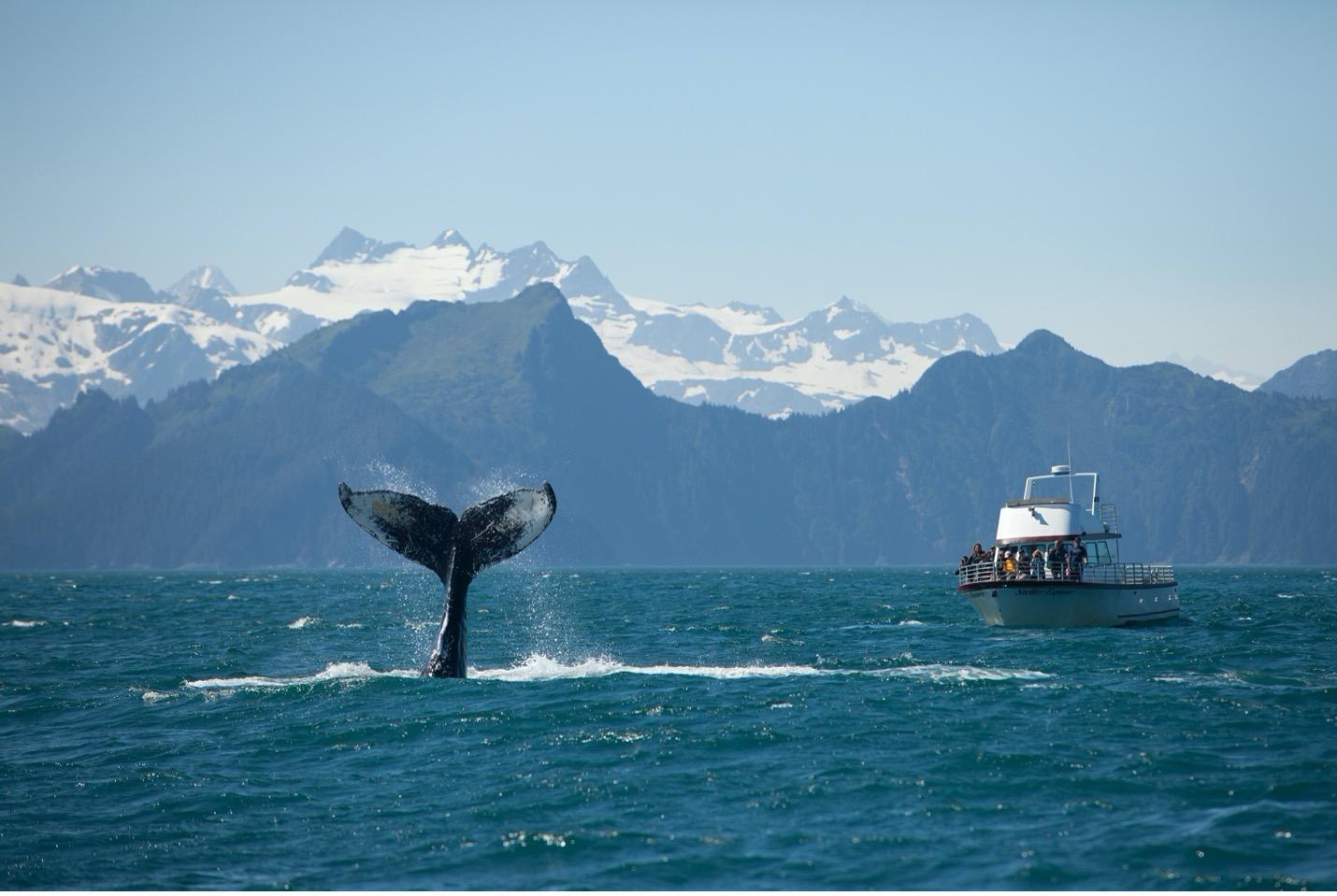 a humpback whale tail in Alaska