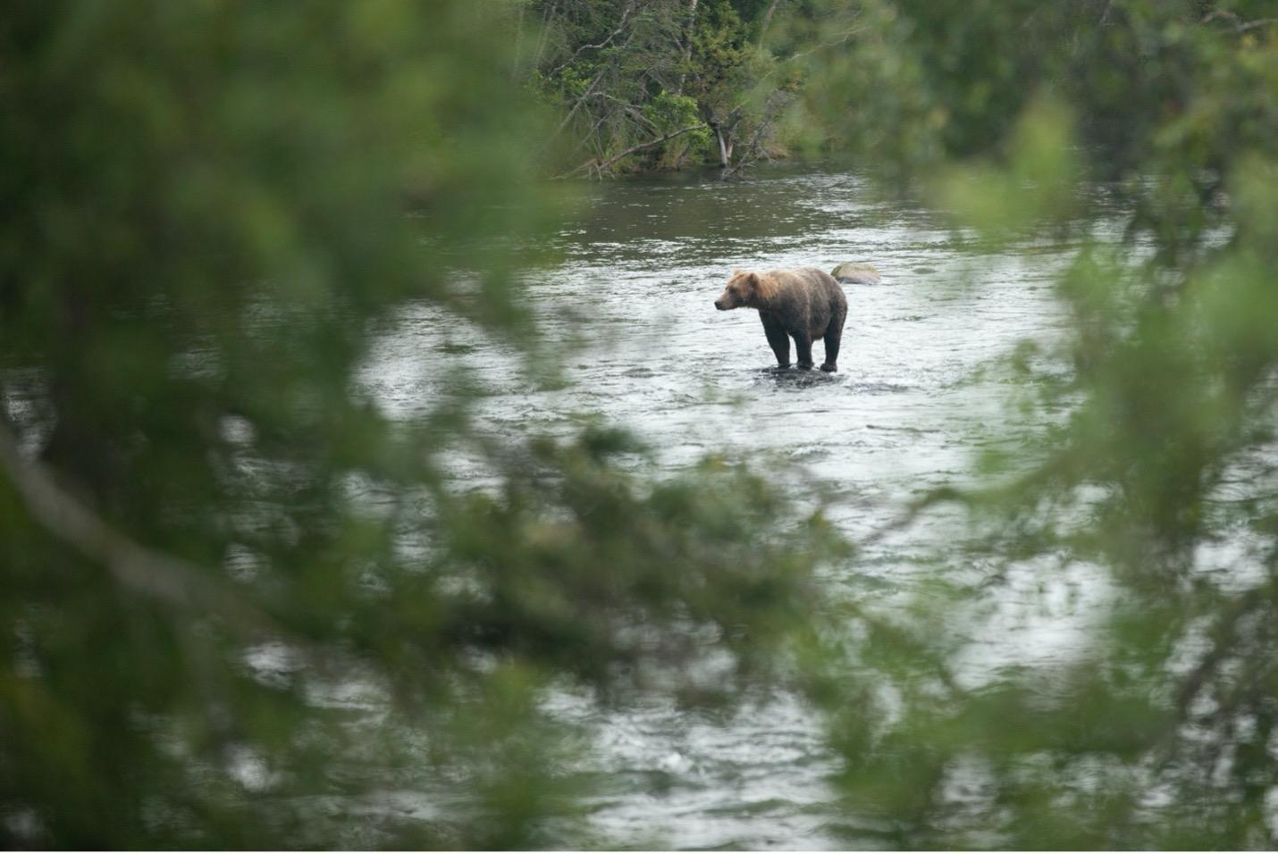 a single brown bear is shrouded by vegetation in Alaska
