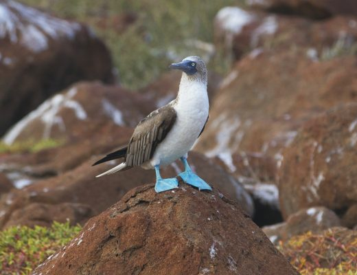 a male blue footed booby proudly poses in the Galapagos