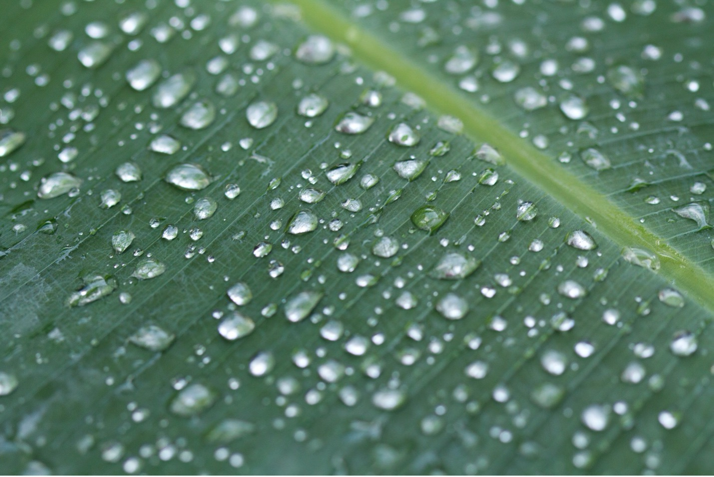 raindrops cover a large leaf from a rain forest in costa rica