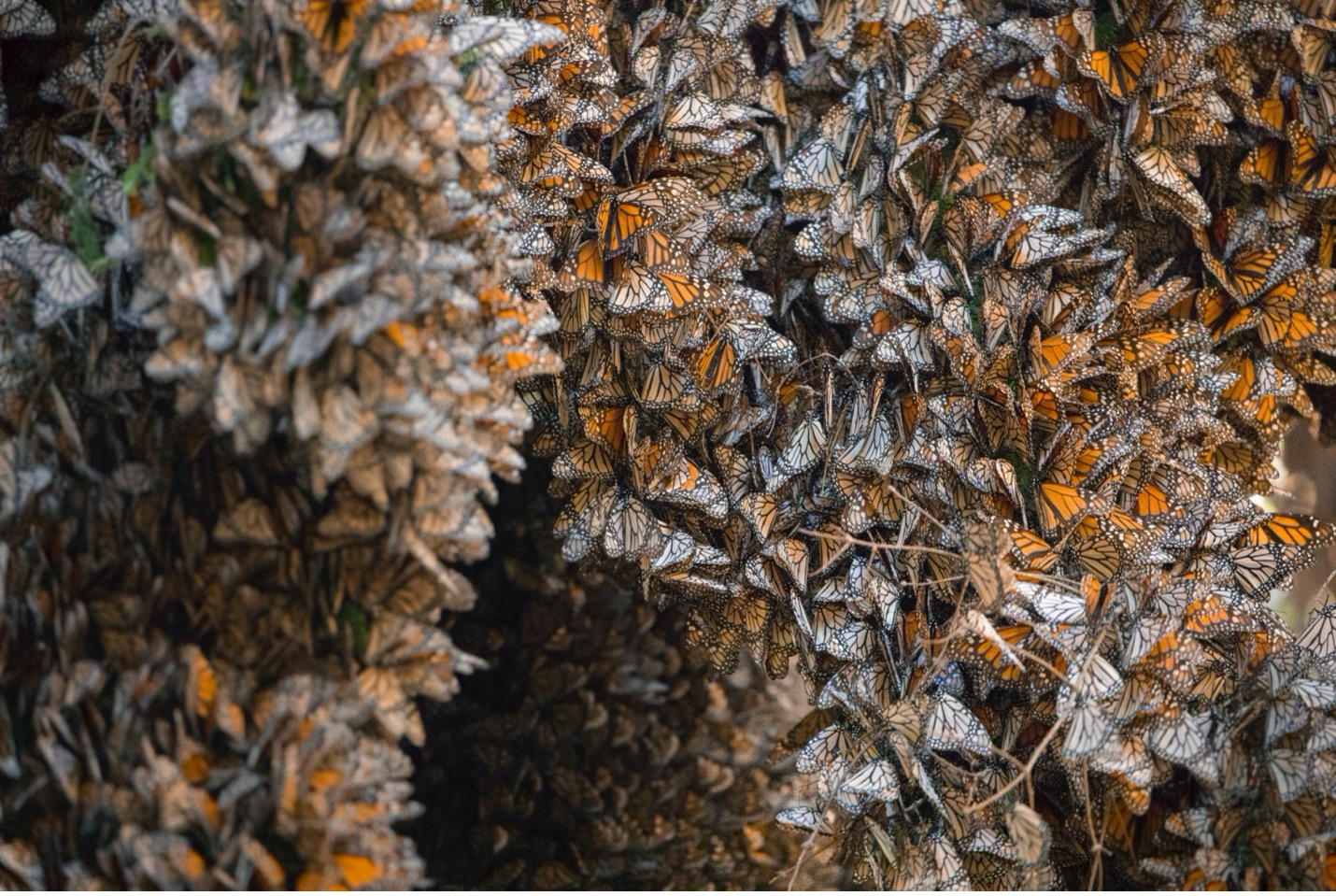 thousands of monarch butterflies cluster tightly in trees in mexico