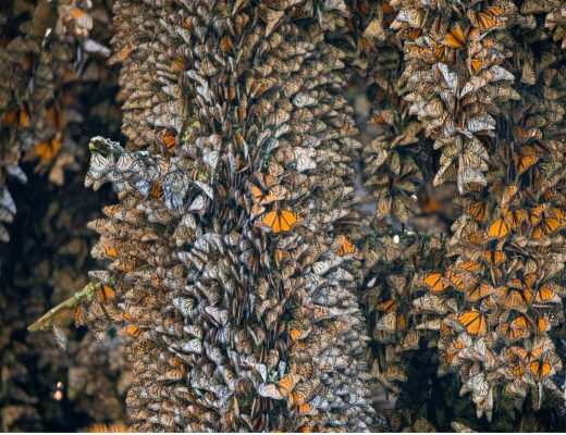 monarch butterflies fill the frame of the photo from edge to edge