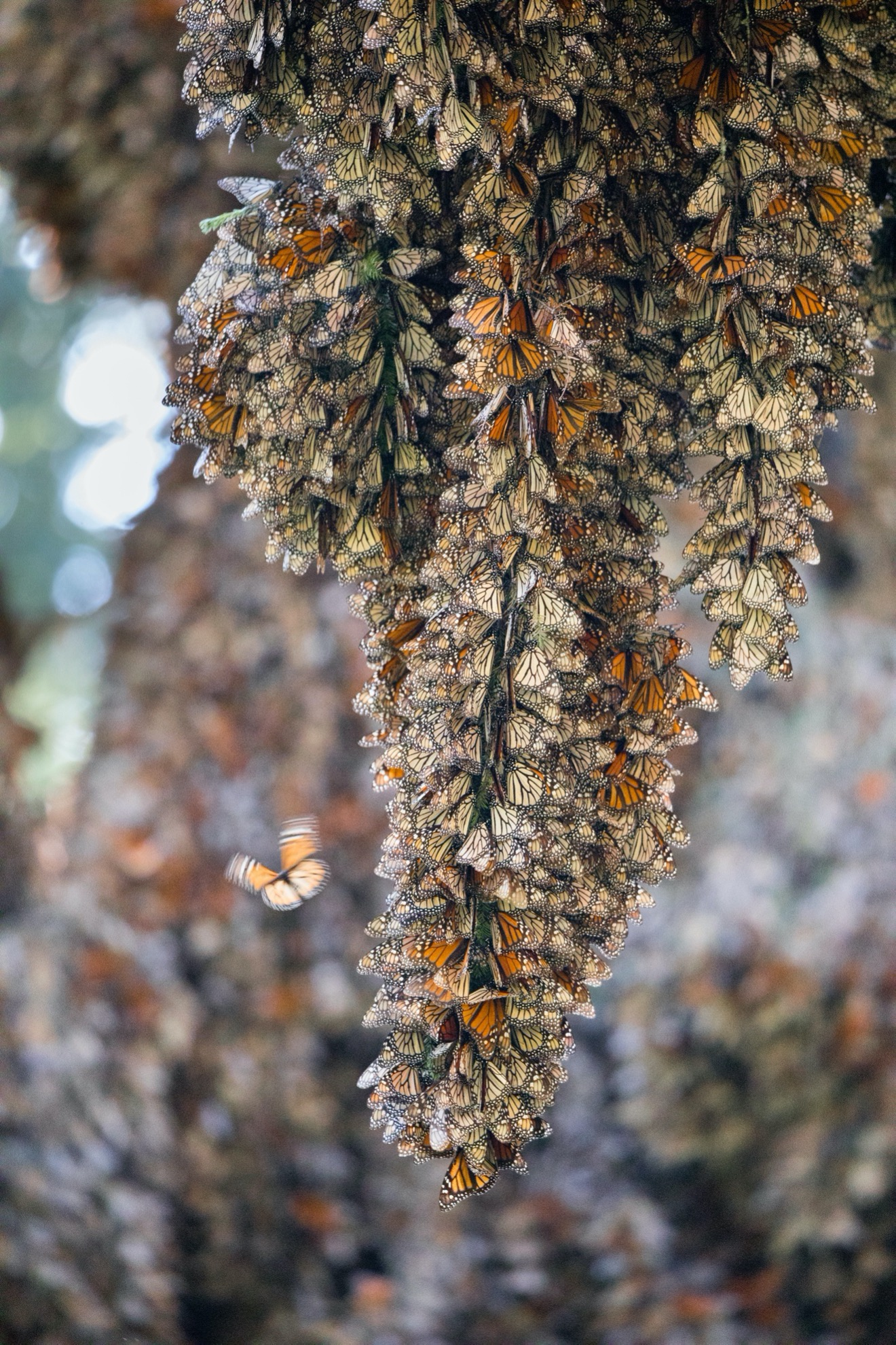 a single cluster of monarch butterflies cling to a tree branch