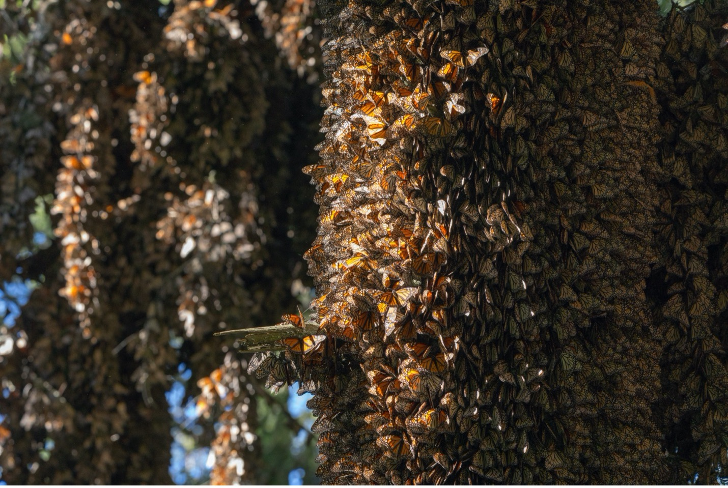 monarchs hang on tree trunks and branches in the shadows