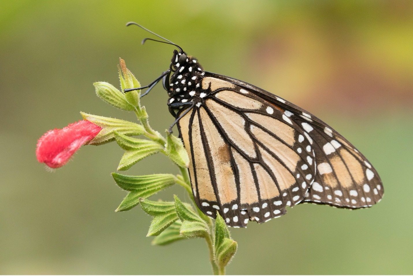 a side photo of a monarch butterfly in macro photography style