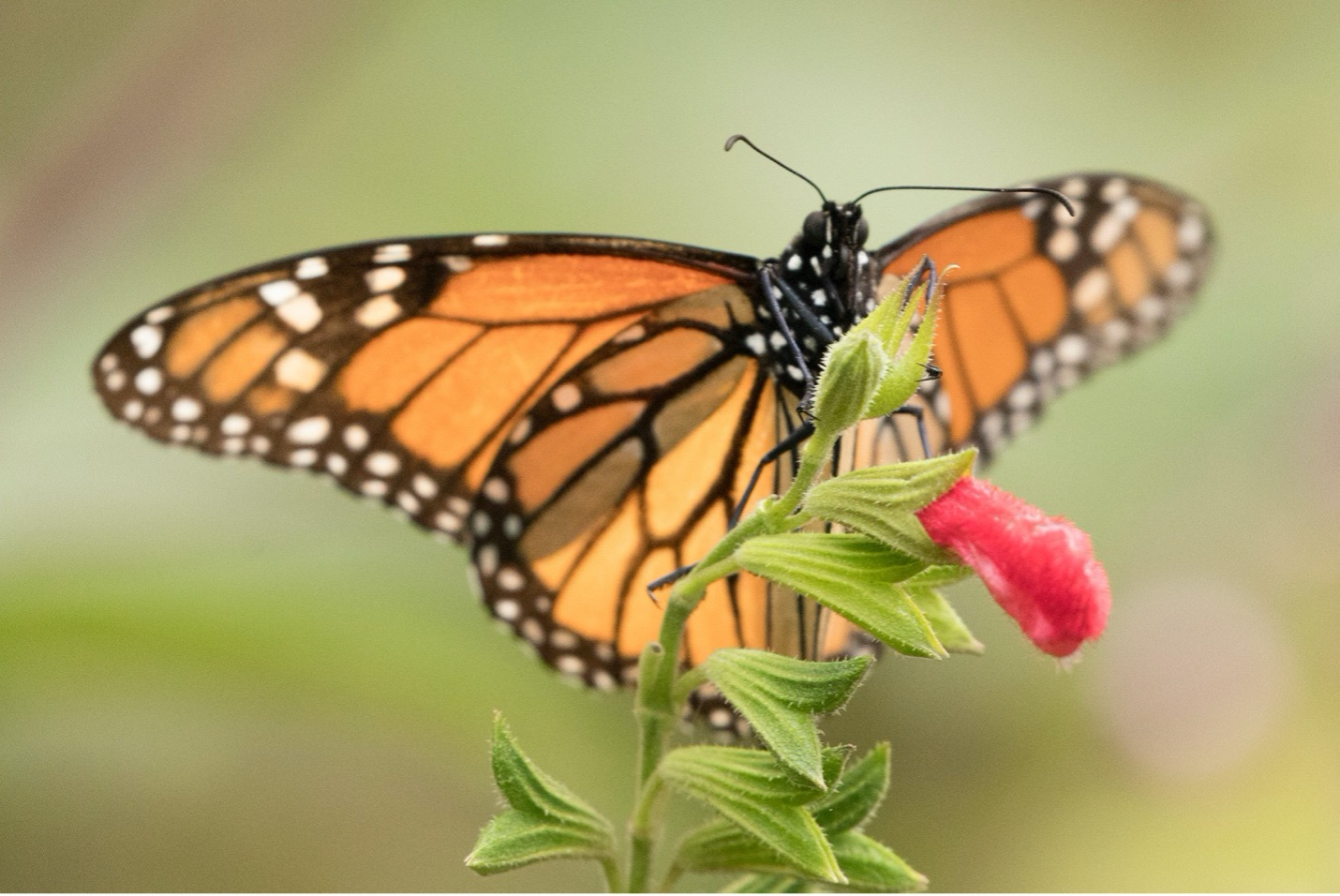 a head on photo of a monarch butterfly on a flower