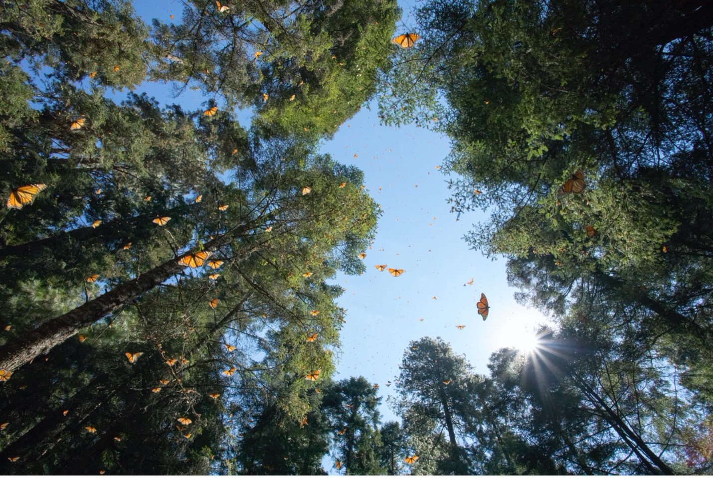 monarch butterflies soar through the air in great numbers