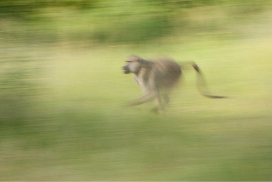 a baboon in africa runs through a field
