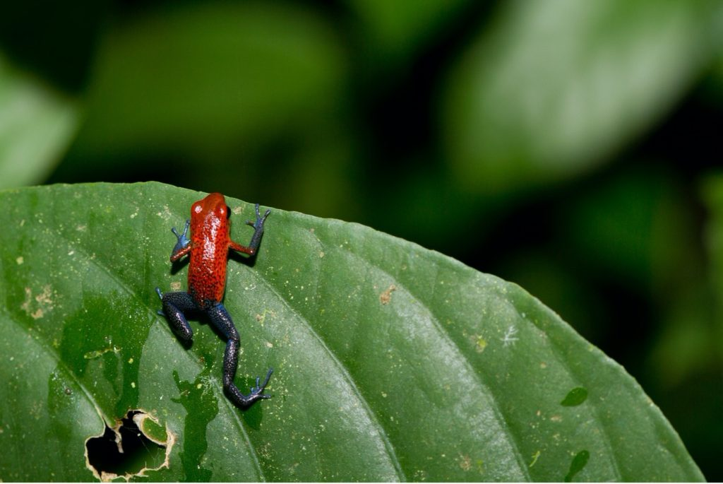 a small frog looks over the edge of a leaf in the rain forests of costa rica