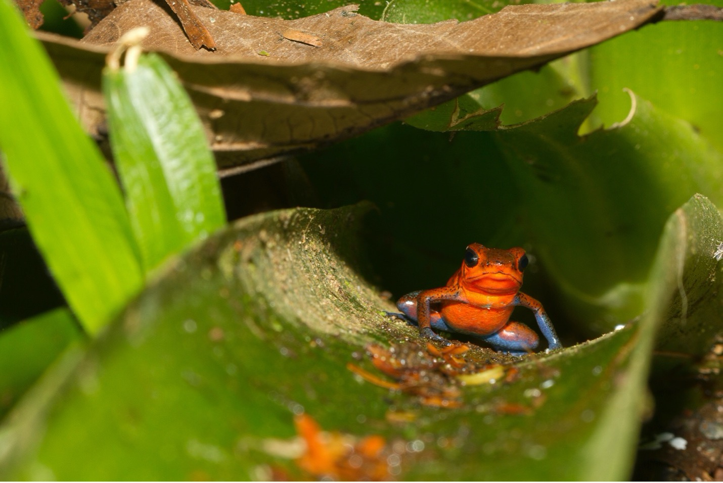 a poison arrow frog postures on a leaf in the forests of costa rica