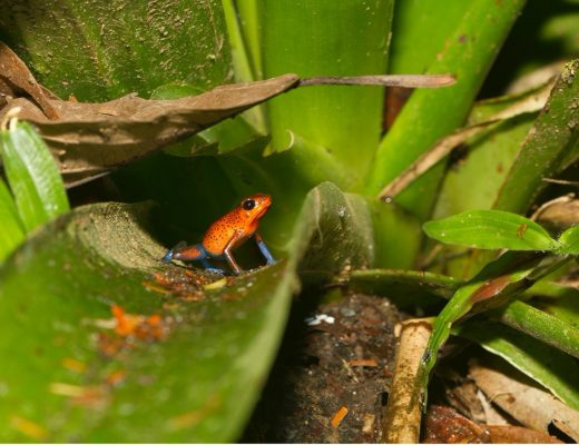 a small red and blue poison arrow frog poses on a bromeliad in costa rica