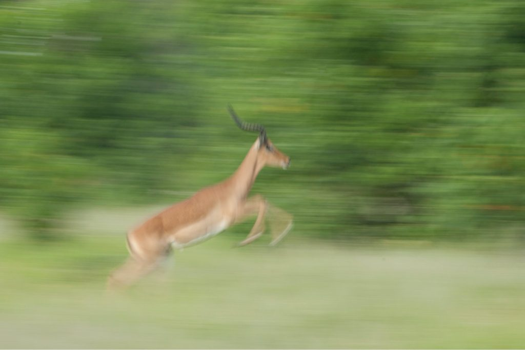 an impala gracefully leaps in blurred motion