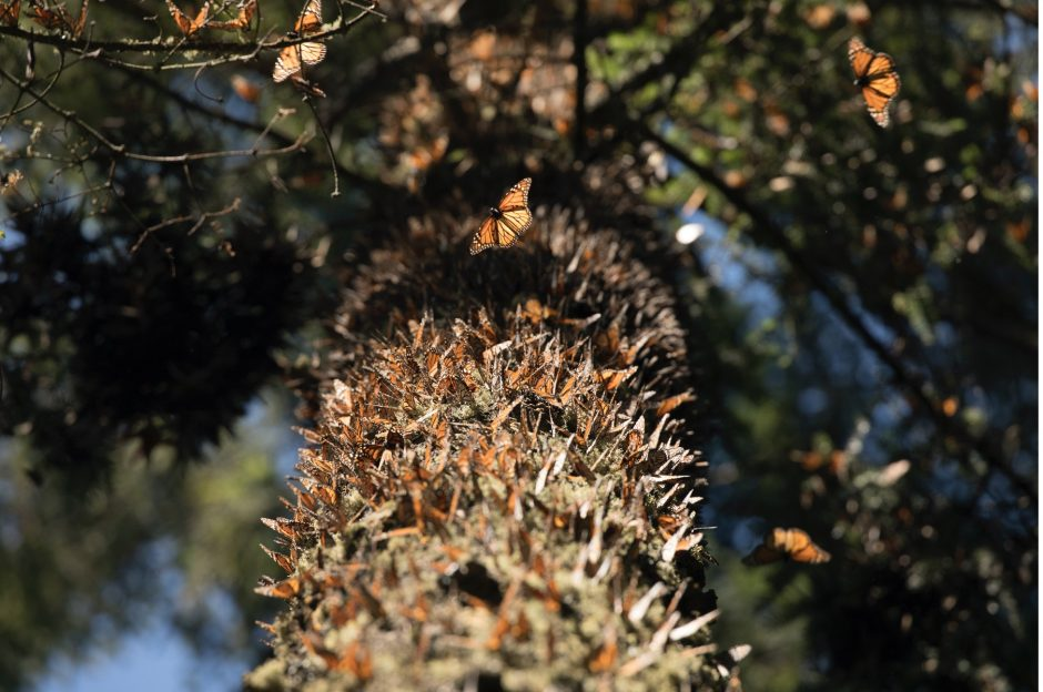 a view up into the tree trunk that is covered with monarch butterflies