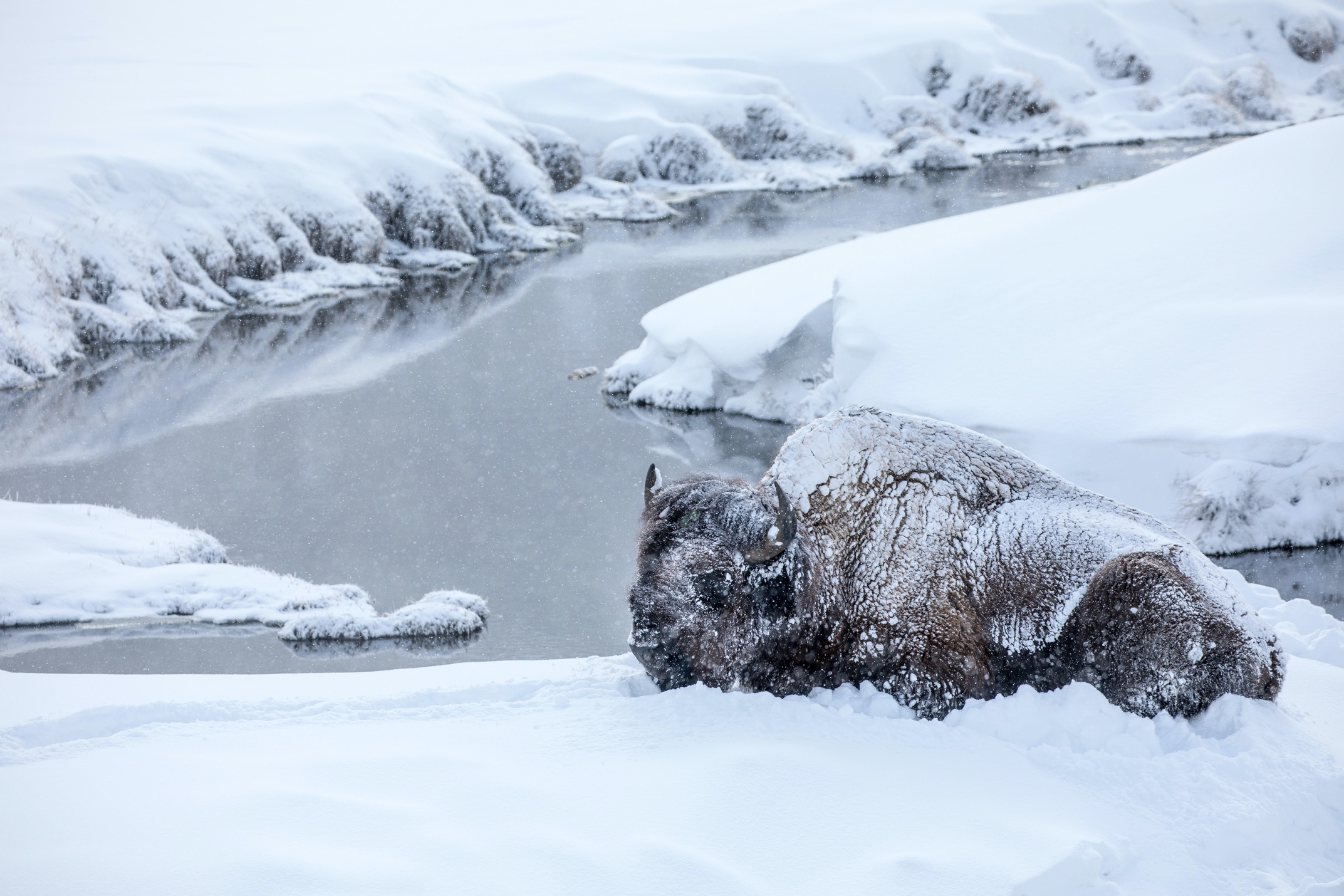 a bison is fully covered in snow and sitting down next to a small river