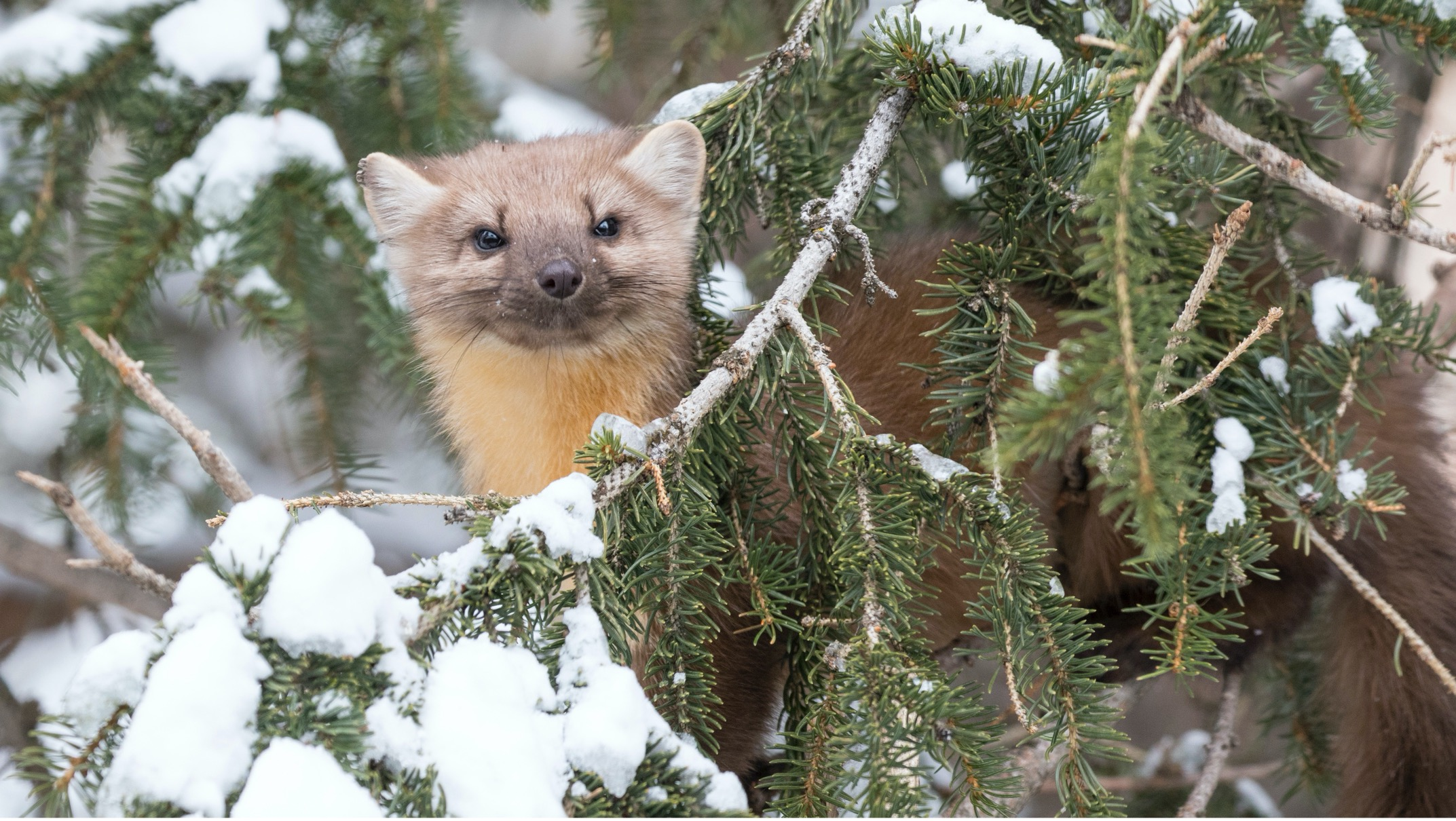 a small pine martin peers from the branches in yellowstone